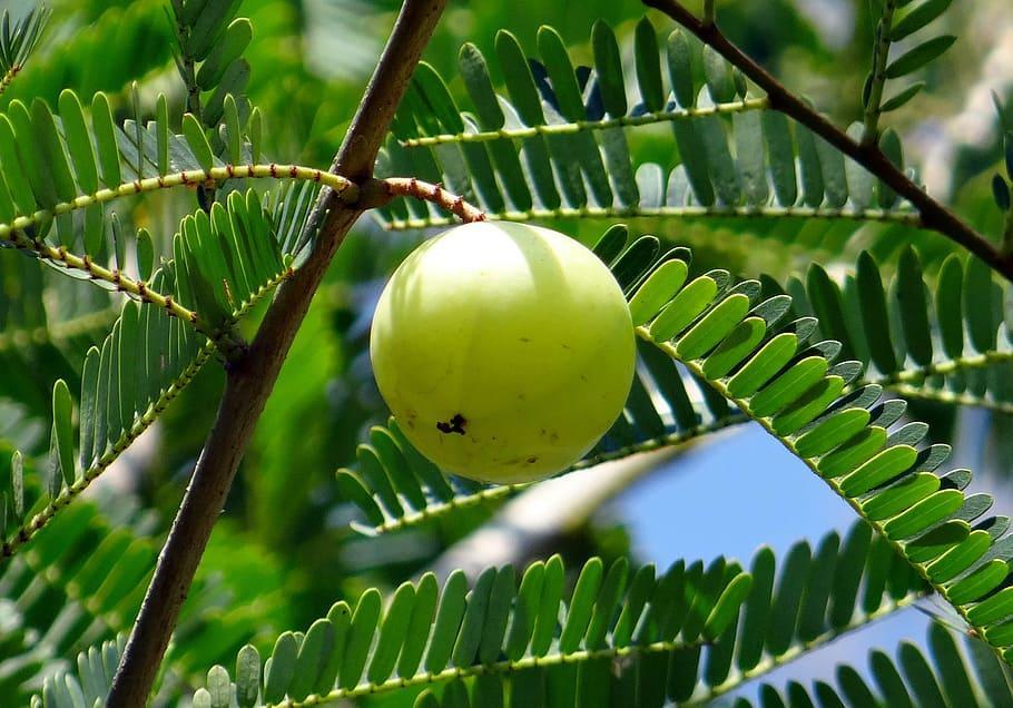 amla gooseberry