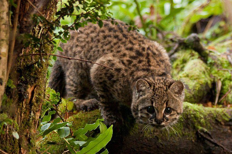 Чилийская кошка на дереве