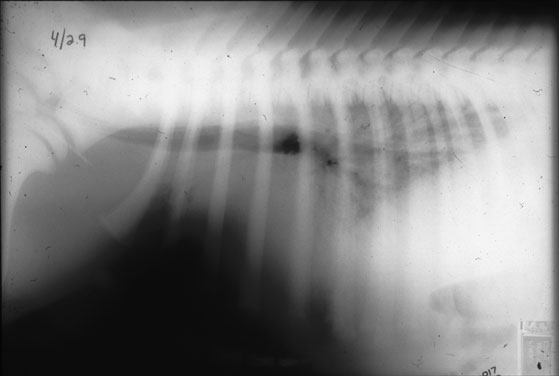 Thoracic radiograph of a foal with acute respiratory distress.