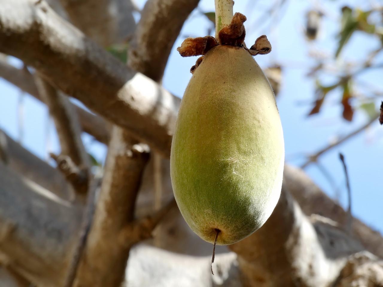 baobabi vili puul