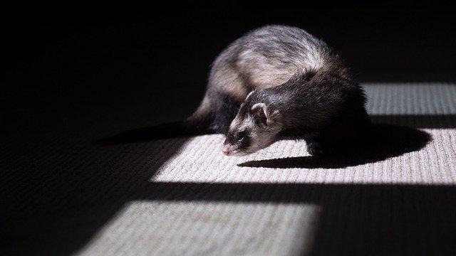 How to Discipline a Ferret?