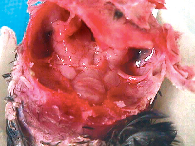 A gross pathological specimen from an African grey parrot (Psittacus erithacus) with cerebral disease due to hydrocephalus