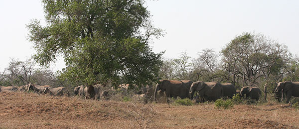 Large elephant herd in the Hluhluwe Umfolozi National Park, South Africa