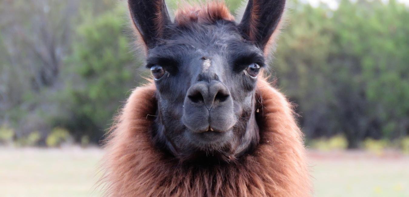 llama looking straight at the camera