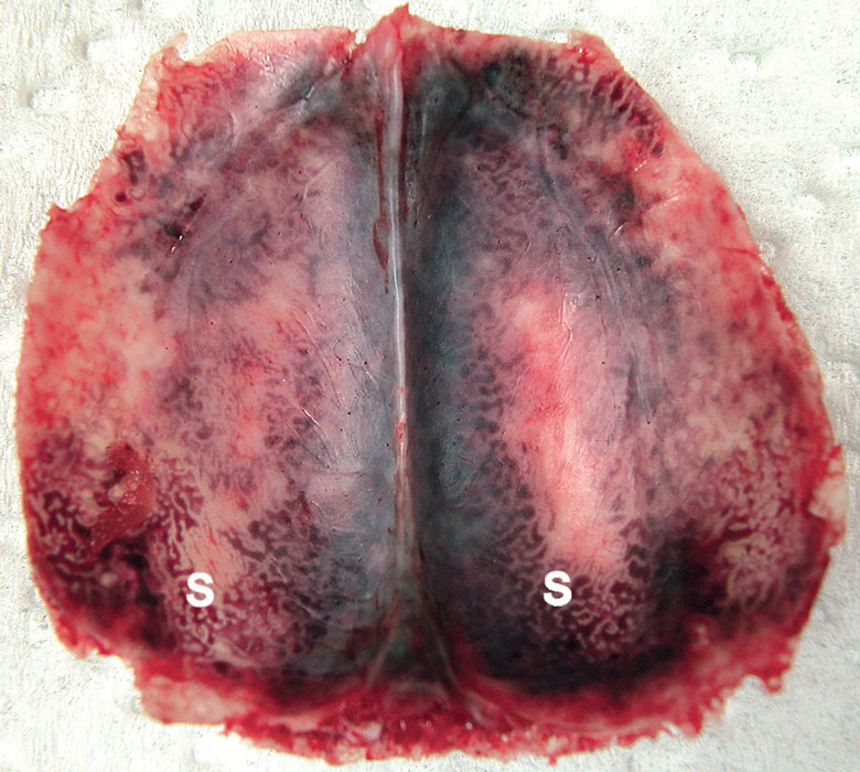View of the dorsal surface of calvarium of a psittacine bird with congested vascular sinuses