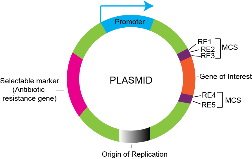 diagram of plasmid components including MCS, origin of replication and more.