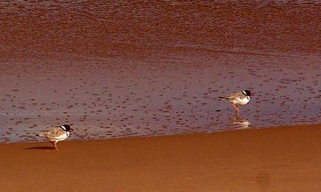 Image result for hooded plovers at lake warden photo