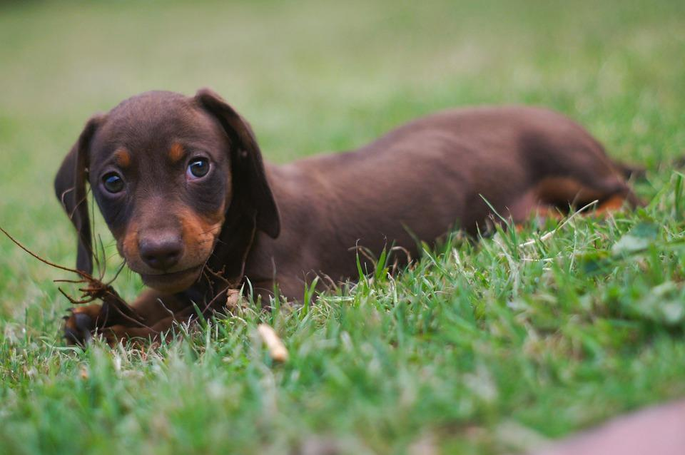 Dog, Puppy, Daschund, Tekkel, Sausage Dog, Cute, Pet