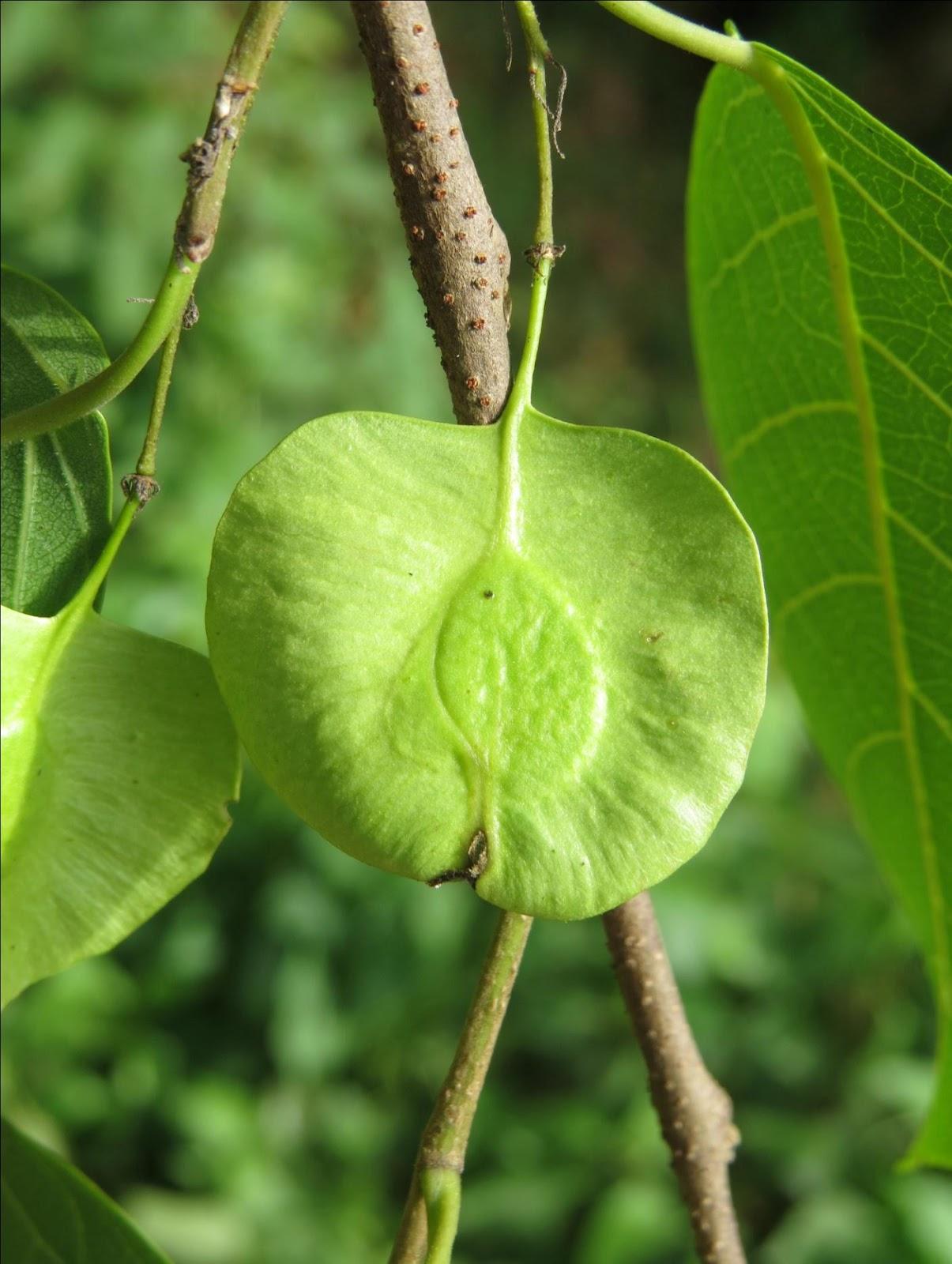 kanju fruit.jpg