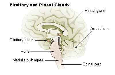 https://upload.wikimedia.org/wikipedia/commons/6/6b/Illu_pituitary_pineal_glands.jpg
