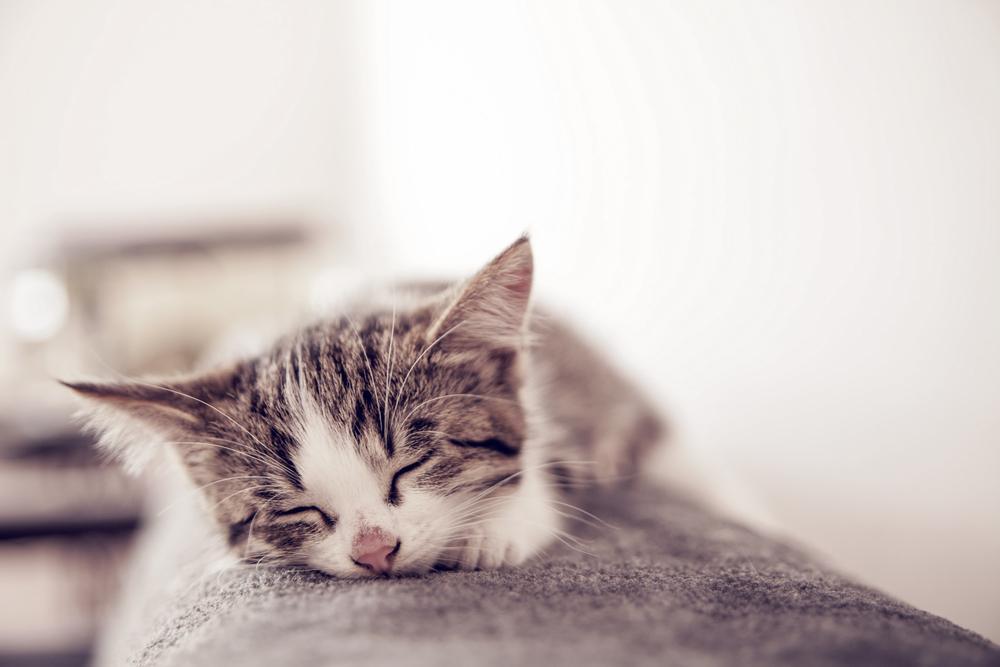 chaton dort paisiblement sur le canapé