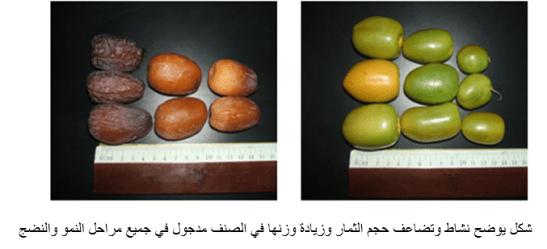 نشاط وتضاعف حجم الثمار وزيادة وزنها في الصنف مدجول في جميع مراحل النمو والنضج