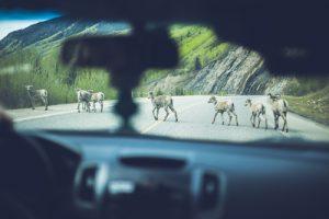 Si la colisión con el animal es inevitable, mantén la vista hacia donde quieras llevar el vehículo, pisa el freno a fondo y trata de chocar en ángulo.
