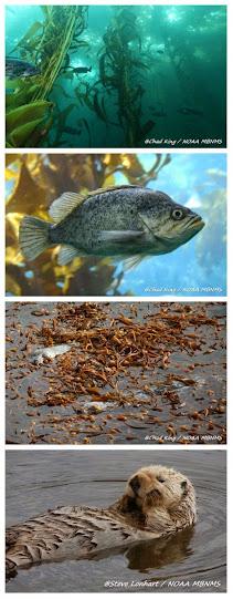 Fauna asociada a los bosques de Kelp (peces y mamíferos)