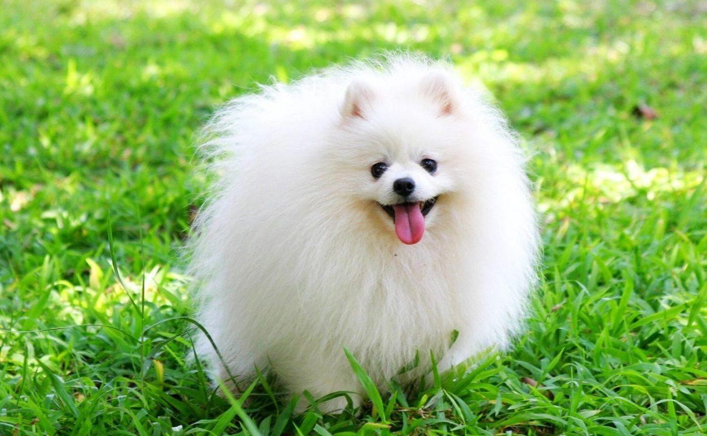 Chó Phốc lông trắng luôn được nhiều người ưa chuộng