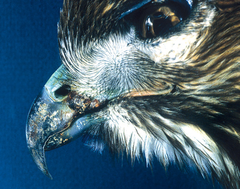 Cutaneous pox involving the commissures of the mouth in a red-tailed hawk.