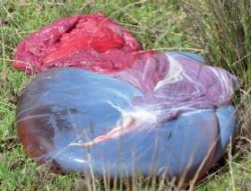 Placenta d'alpaga