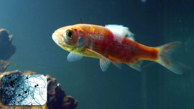Một số bệnh thường gặp ở cá cảnh cần chú ý!