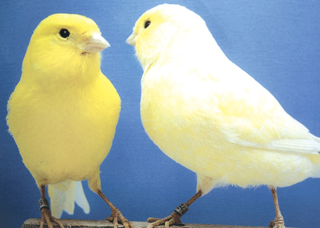 A yellow color canary is shown