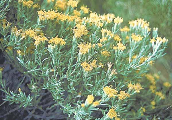 Horsebrush flowers