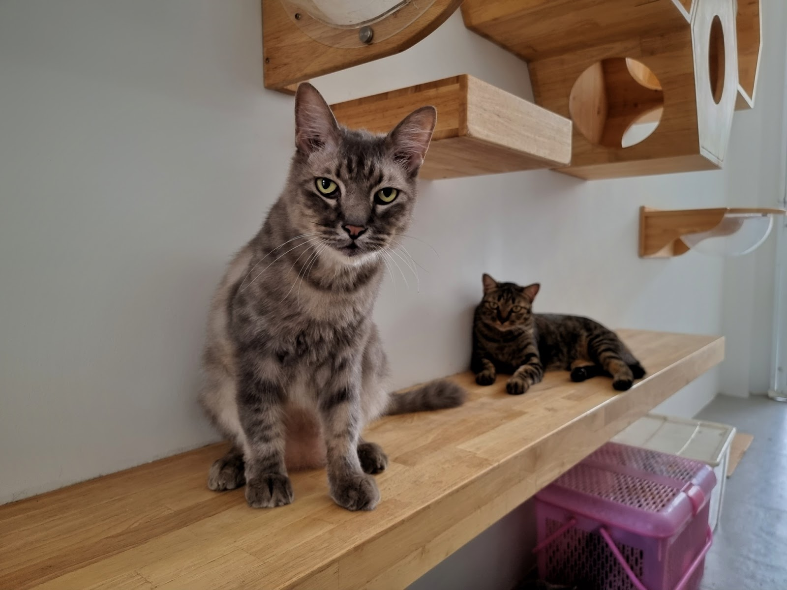 Cats on a wall-mounted, natural wood shelf and obstacle course system.
