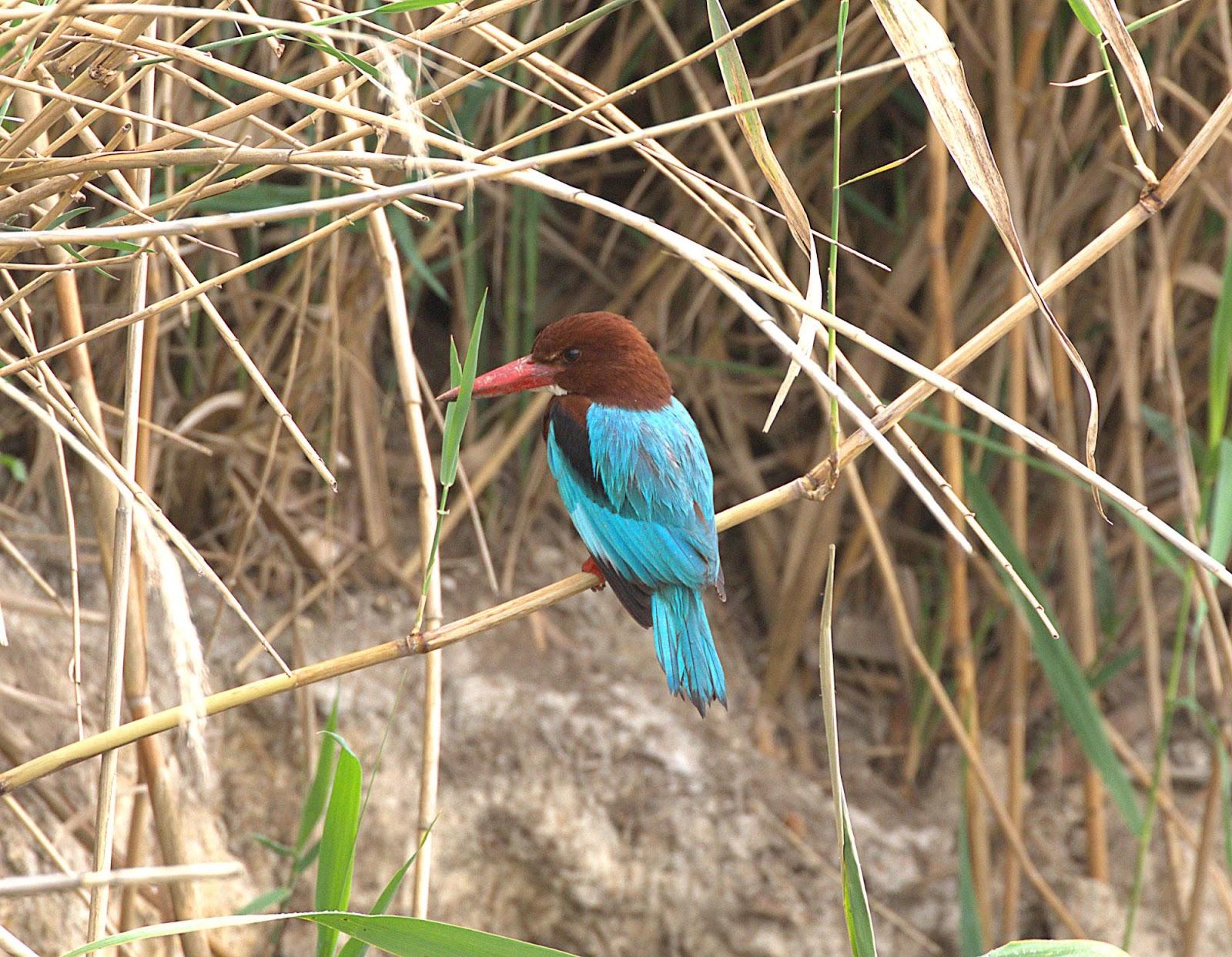 white-breasted kingfisher_rsz.jpg
