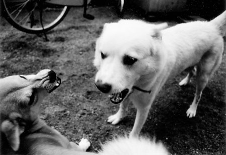 A dog is cranky and showing teeth at another dog.