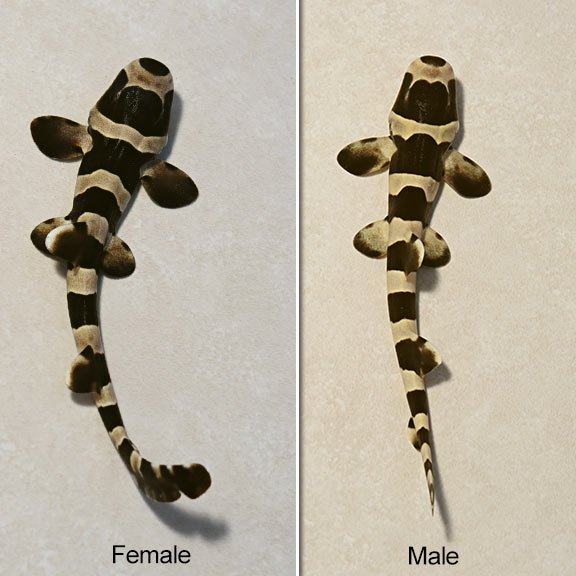 male vs. female black banded cat sharks