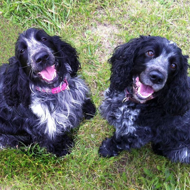 BorrowMyDoggy spaniels