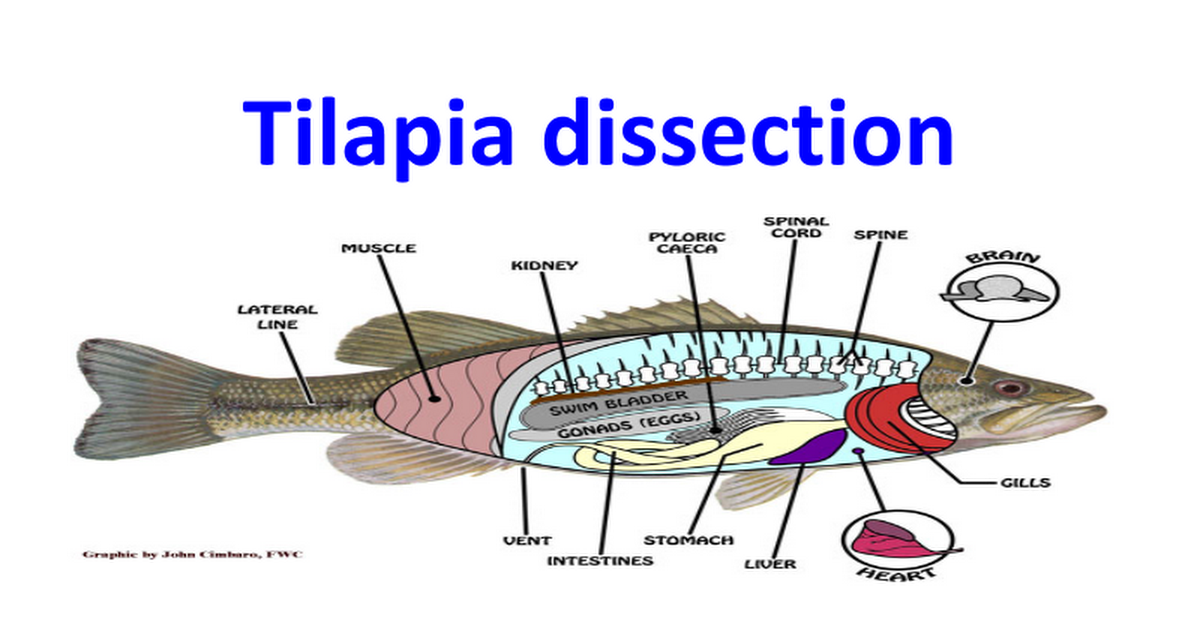 Tilapia dissection.pptx - Google Slides