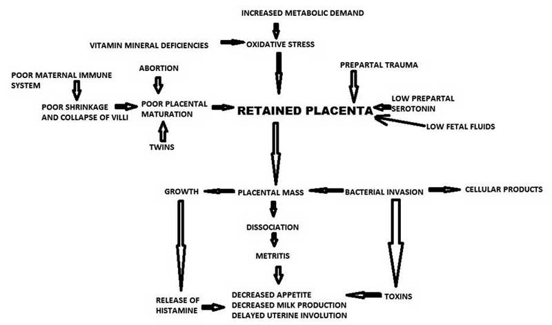 Pathophysiology of placental retention. (Courtesy Dr. G. N. Purohit, Department of Veterinary Gynecology and Obstetrics, College of Veterinary and Animal Sciences, Rajasthan University of Veterinary and Animal Sciences, Bikaner Rajasthan, India.)