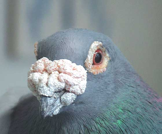 """The head of an """"old fashioned"""" or """"show racer"""" male pigeon makes visual sexing easy"""