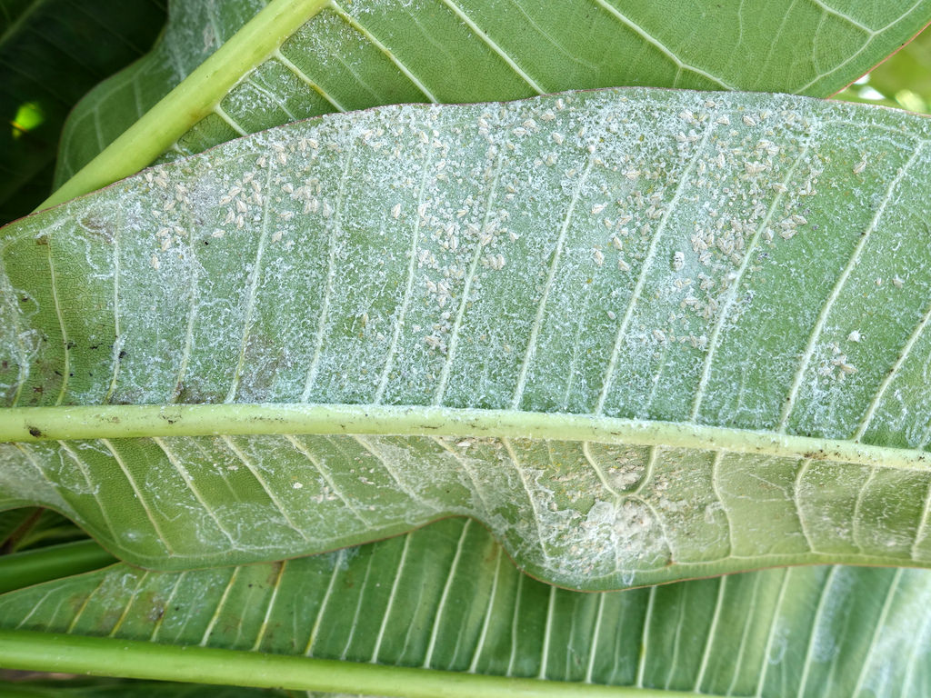 These whitefly infestations are living on this plant leaf and have been coming more common.