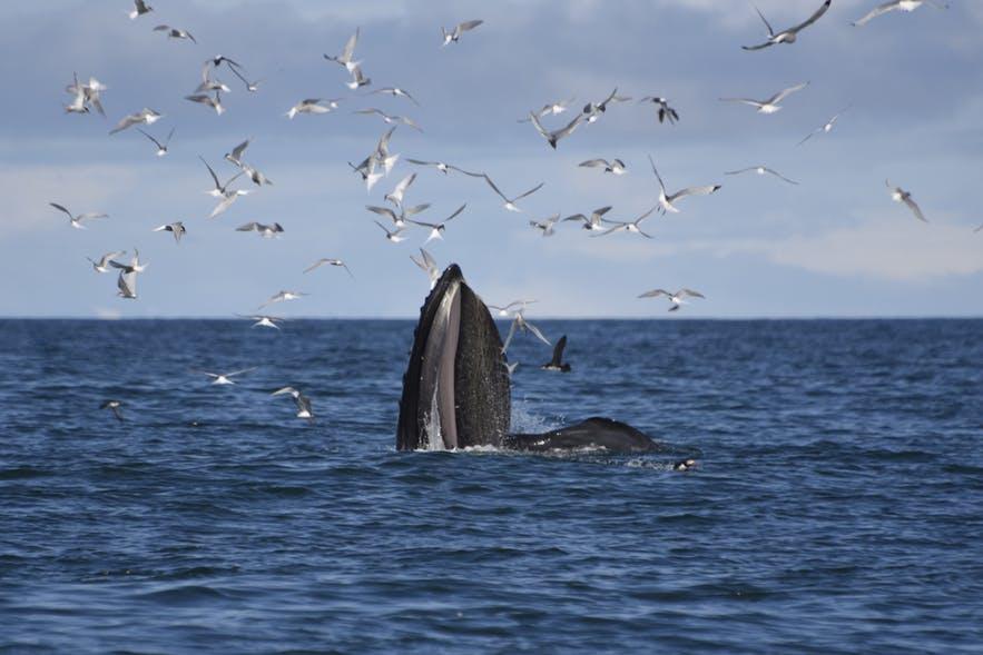 A humpback whale feeding.