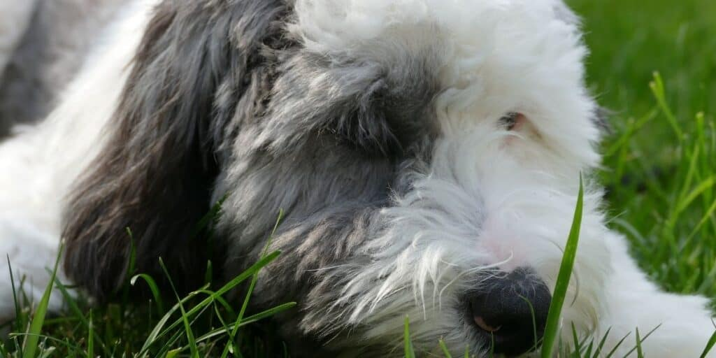 Sheepadoodles are large hypoallergenic dogs
