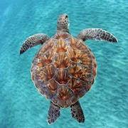 сон черепаха