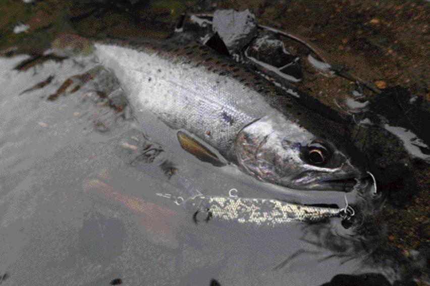 ⑬【魚種名 × メテオーラ52(ジャクソン)】メリハリの効いたフラッシングでルアーの位置を把握しやすい!