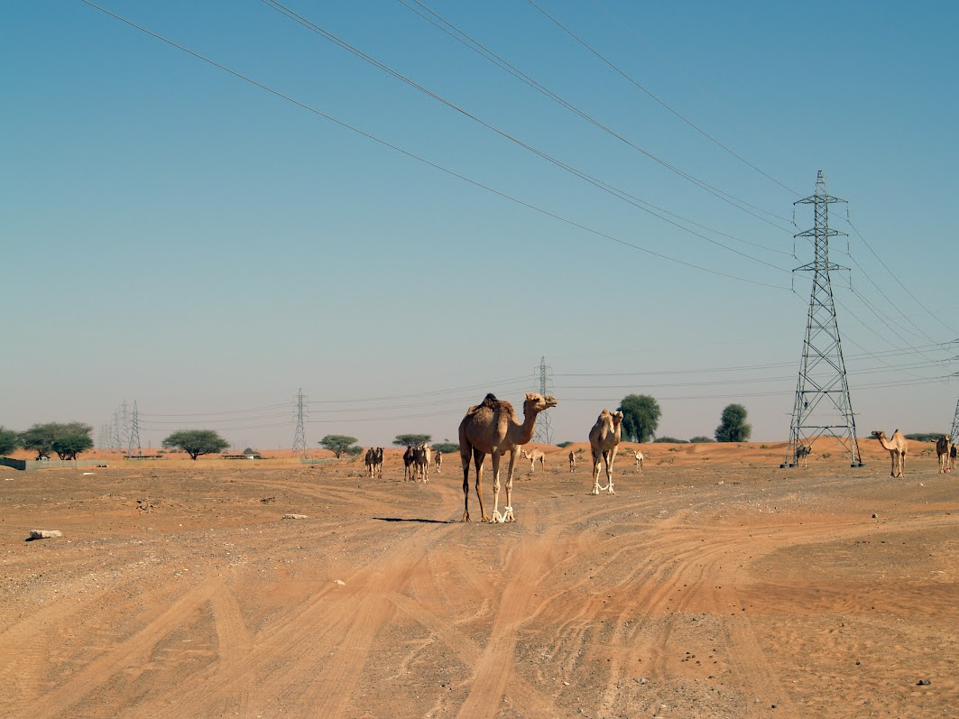 Camels in UAE
