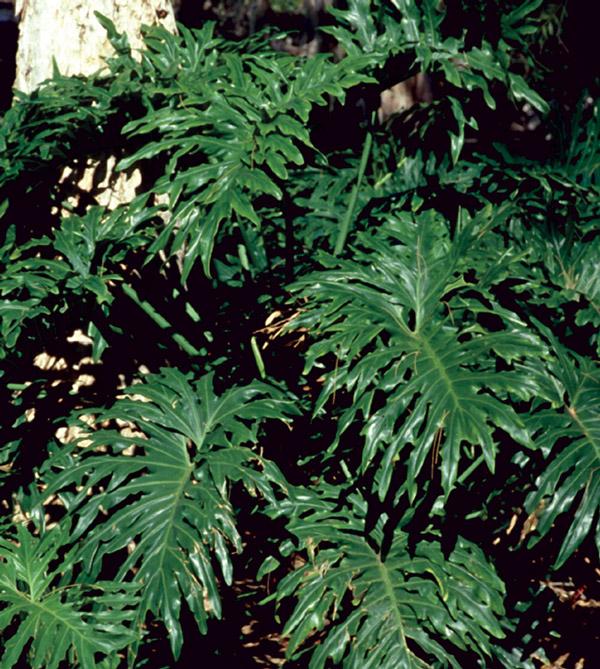 Philodendron bipinnatifidum.