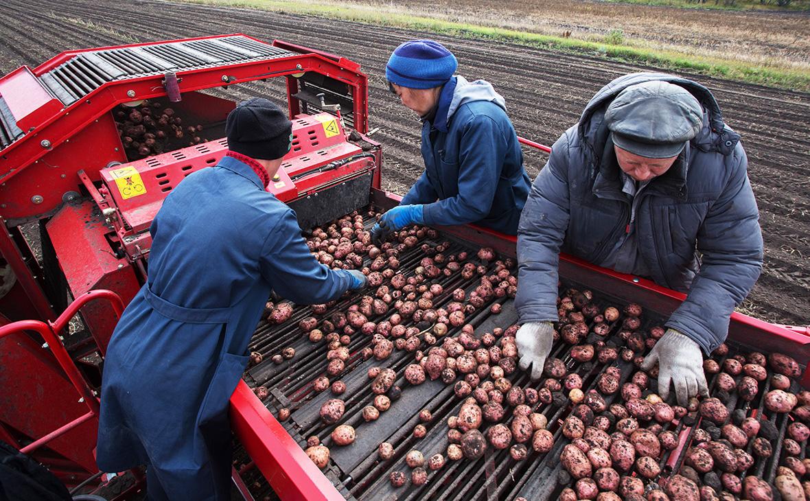 Росія заборонила ввезення на свою територію українською картоплі. Але Україна у відповідь не зробила нічого