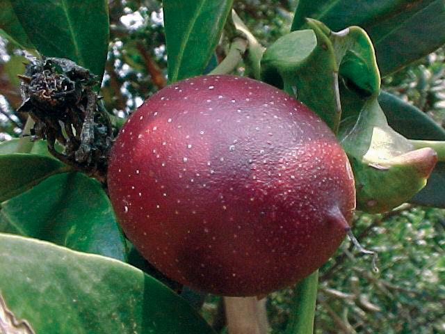 Acokanthera oblongifolia fruit.