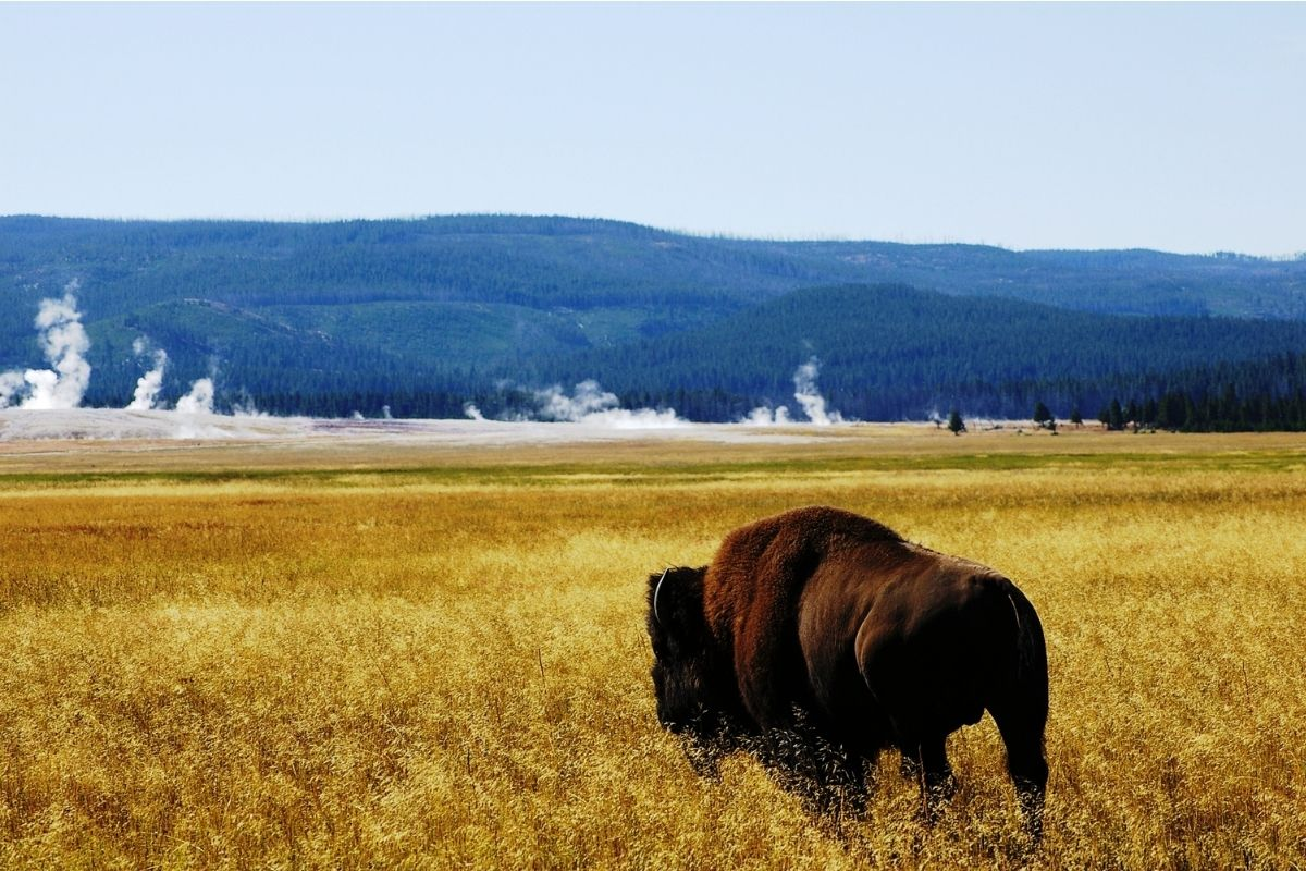A bison in golden fields looking at steaming geysers in Yellowstone, one of the top year-round choices for best national parks to visit by month