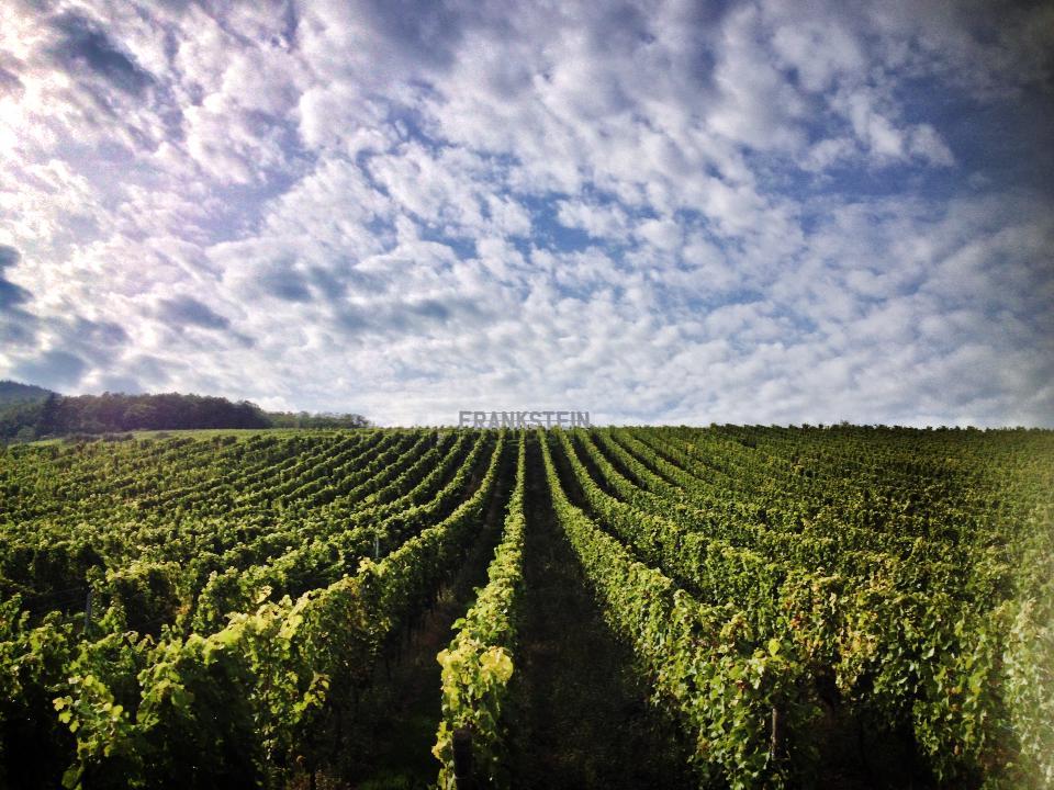 photo d'une vigne palissée, en contrebas du Grand Cru Frankstein, Alsace.
