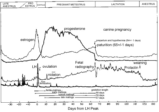 Diagram of typical endocrine changes during estrus and pregnancy in bitches. Adapted from Concannon et al. [5]. Note the elevation in progesterone concentration after ovulation, the peak in serum progesterone concentration at mid-gestation, the gradual decline in late gestation and the abrupt fall in serum progesterone just prior to parturition. When monitoring serum progesterone concentration during pregnancy, the normal concentration relative to the stage of gestation must be borne in mind.