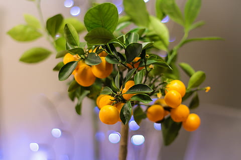 https://c1.wallpaperflare.com/preview/93/643/661/bonsai-citrus-citrus-fruit-close-up-thumbnail.jpg