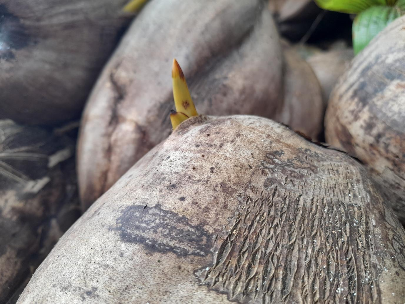 shoots coming out of coconut