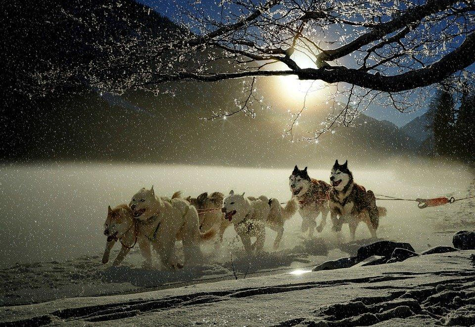 Description: Dogs, Huskies, Animal, Dog Racing, Winter, Wintry