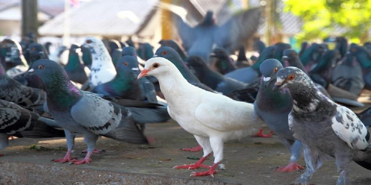 Pombo em cima de galinha  Descrição gerada automaticamente