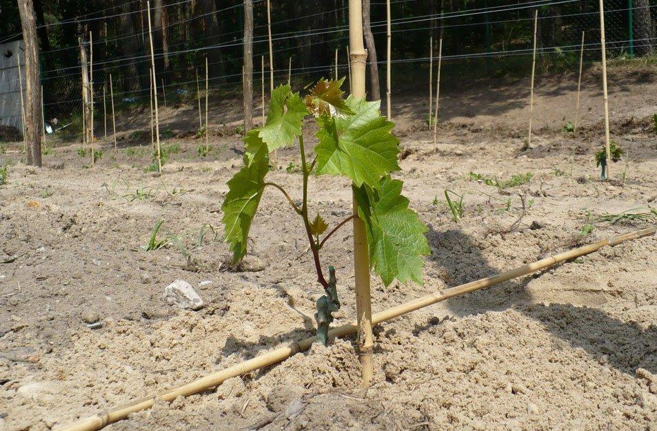 Место для посадки винограда