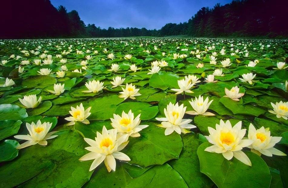 Cuidados Flor de Loto